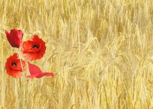 red-poppy-143484_640
